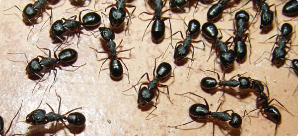 Home Remedies for Ants - Get Rid of Ants Naturally