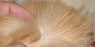 How to Get Rid of Fleas on Cats at Home