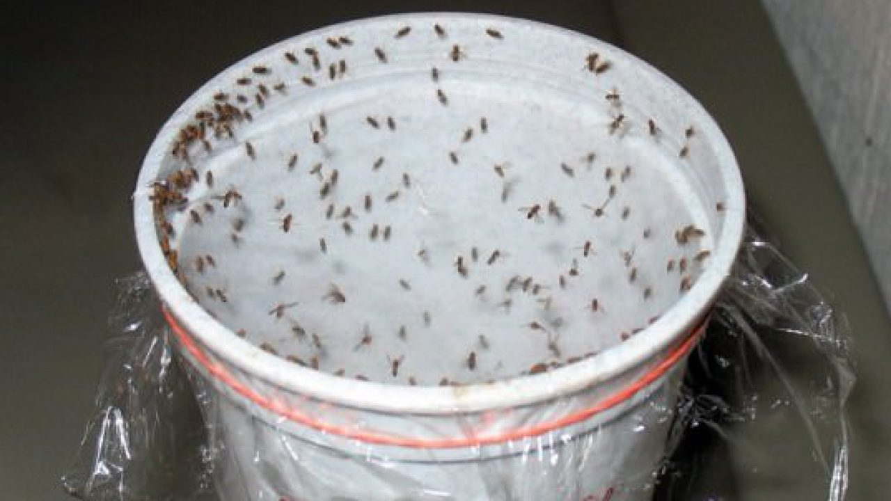 Homemade Traps to Get Rid of Fruit Flies (Without Chemicals)