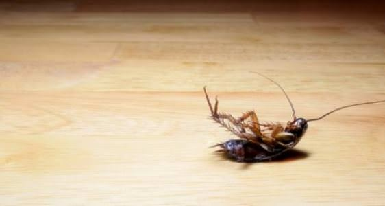 home remedies for roaches get rid of cockroaches