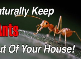 how to get rid of ants naturally fast