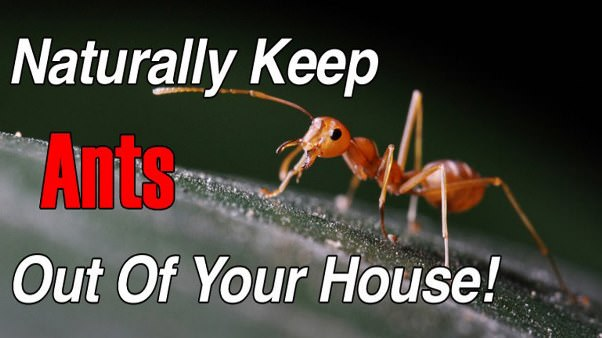 how to get rid of ants naturally fast. Black Bedroom Furniture Sets. Home Design Ideas