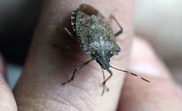 Natural Remedies For Stink Bugs