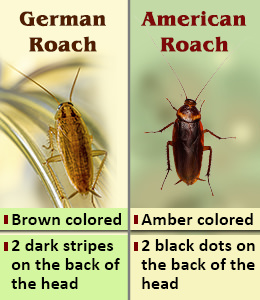 How To Get Rid Of Cockroaches In Your Home Naturally
