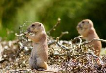 Remedies to Get Rid of Gophers