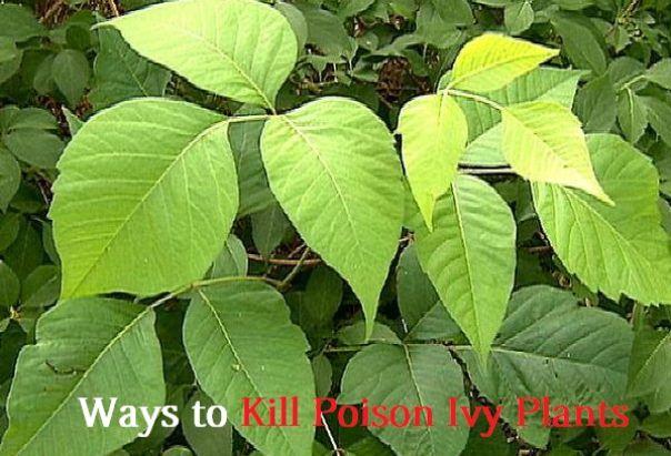 kill poison ivy plants
